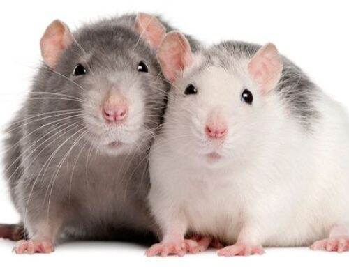 شركة مكافحة الفئران في الفجيرة |0563902844|دبا الفجيرة