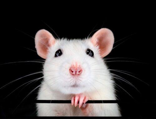 شركة مكافحة الفئران في راس الخيمة |0563902844| مكافحة
